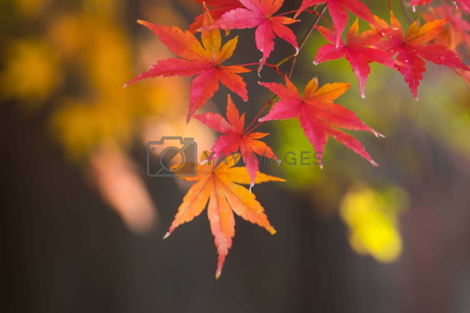 Colorful autumn leaves with backdrop blur