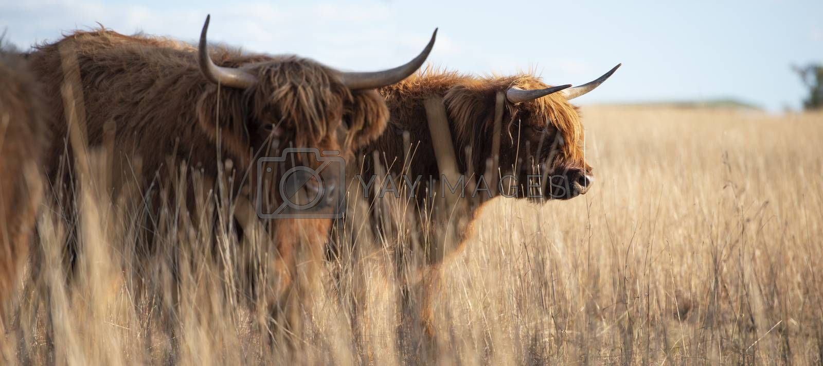 Highland cows on the farm during the day