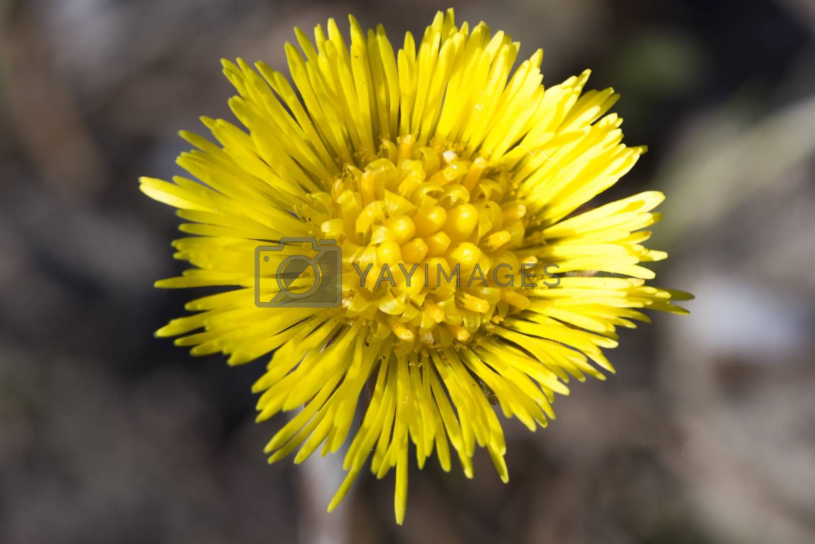Tussilago farfara Close up by Emmoth
