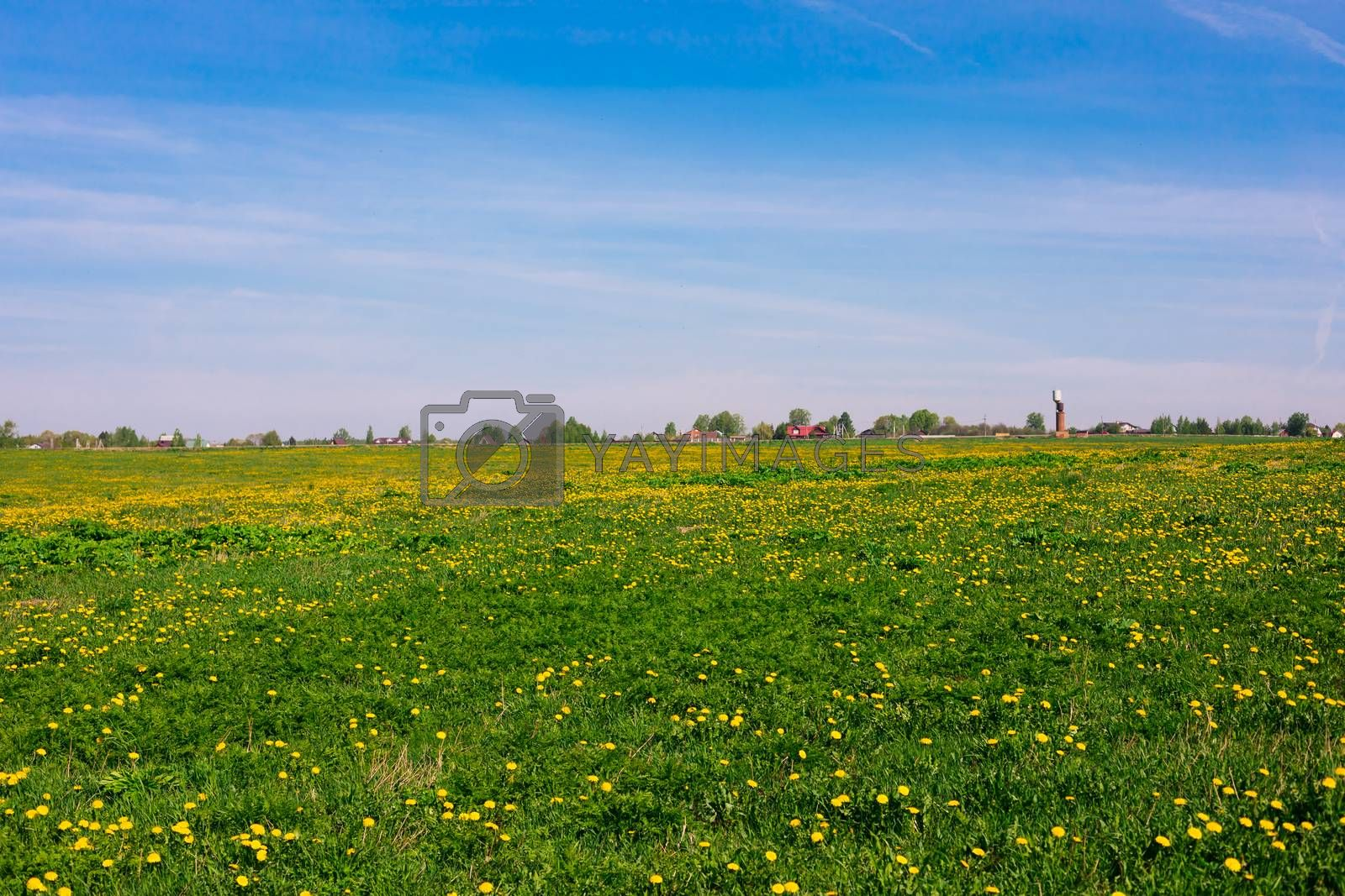 A field with yellow dandelions in the daylight, rural, countryside lanscape, blue sky