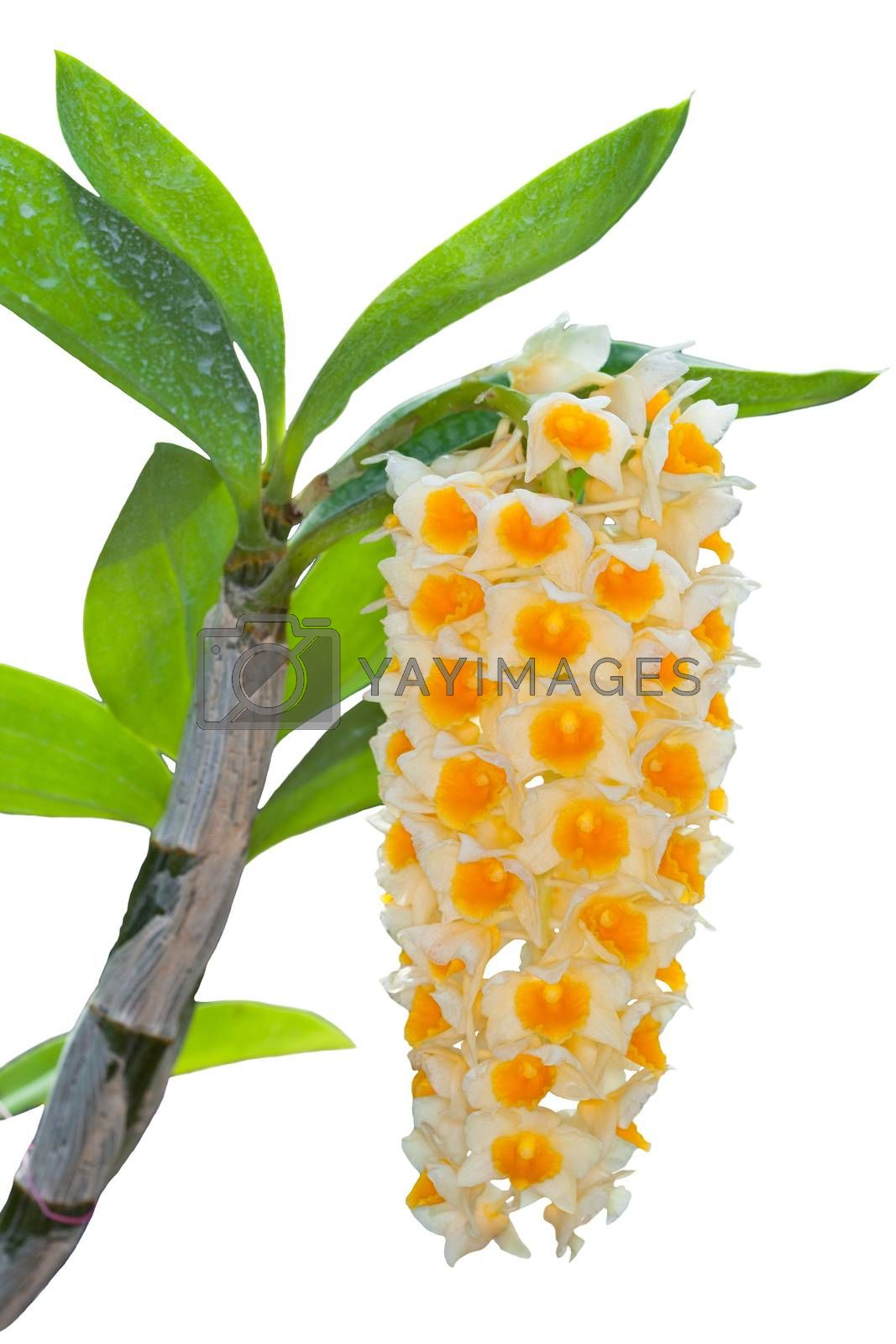 Yellow orchid close up isolated on white
