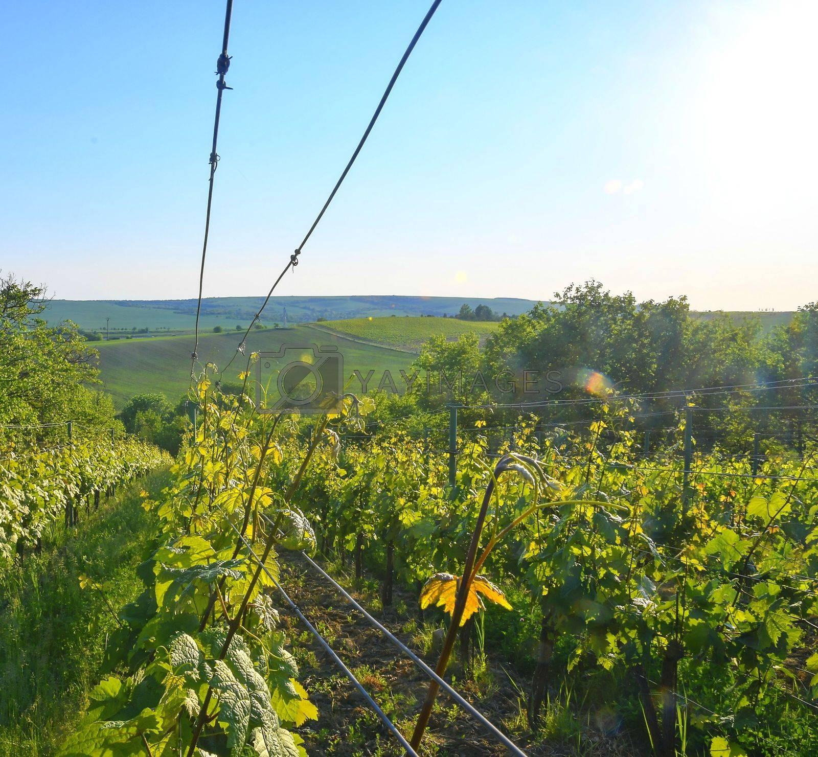 Wineyard at spring.  Sun flare. Vineyard landscape. Vineyard rows at South Moravia, Czech Republic.