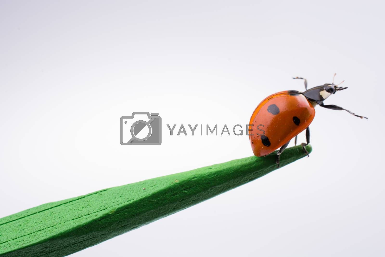 Beautiful photo of red ladybug walking on a wooden stick