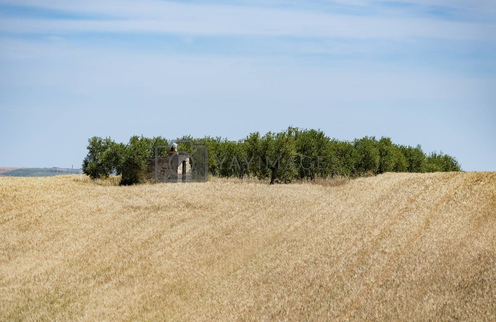 Hilly landscape with wheat field and trees in a typical landscape in Basilicata, Italy