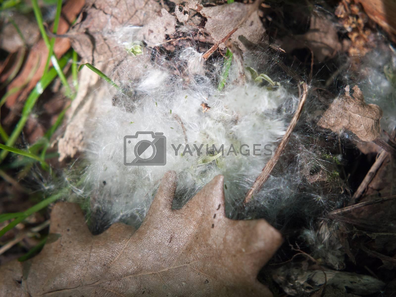 white catkin blossom spring fluff floor cotton wisp close up texture; essex; england; uk