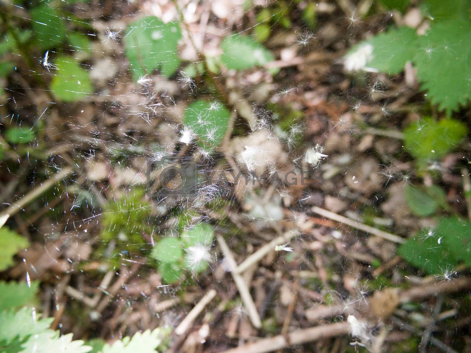 close up of large spider web with white fluff; essex; england; uk