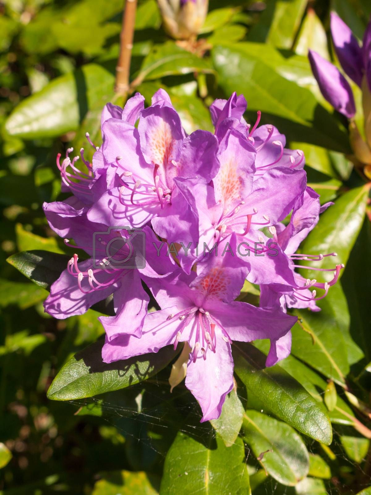 beautiful close up of pink wild spring shrub flower azalea; essex; england; uk
