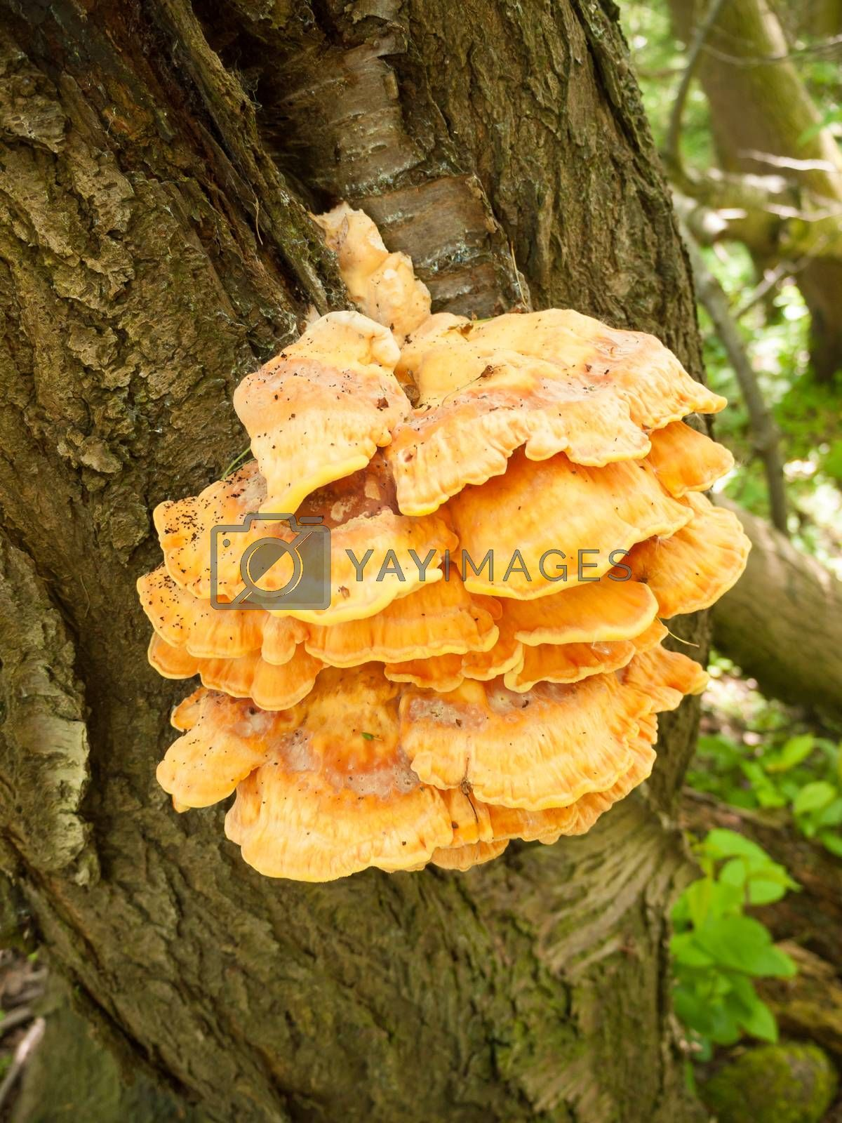 Close up chicken of the woods, sulphur shelf on bark - Laetiporus sulphureus; essex; england; uk
