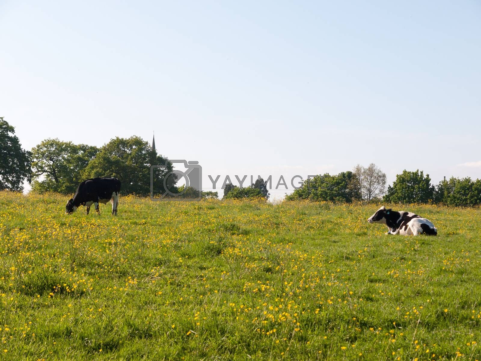 cows grazing resting in field spring day dairy farm meat; essex; england; uk