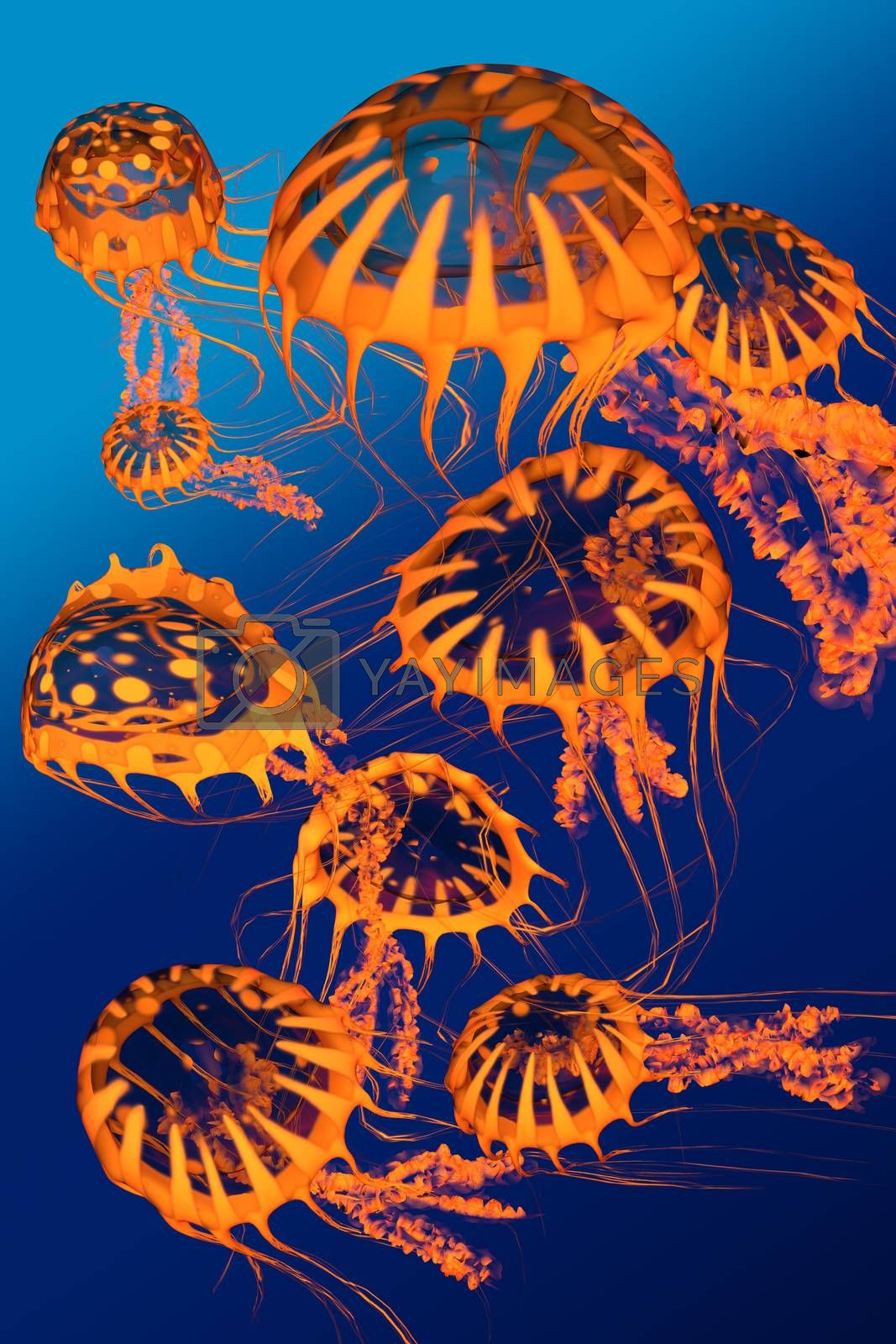 A group of golden jellyfish dance around each other in blue ocean surface waters.