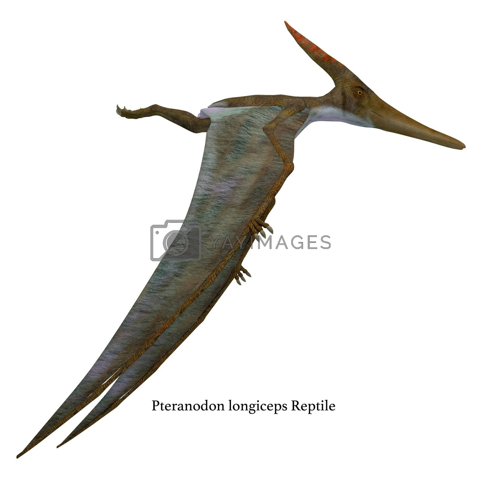 Pteranodon was a flying carnivorous reptile that lived in North America in the Cretaceous Period.