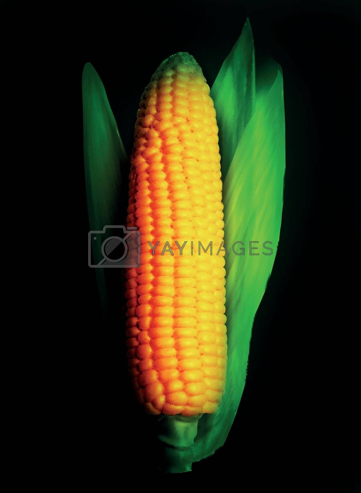 Realistic corn ear isolated on black. Vector illustration