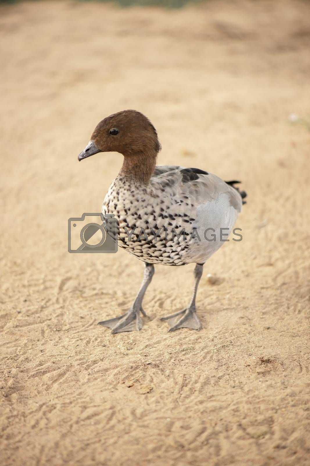 Small duck freely roaming on a farm during the day