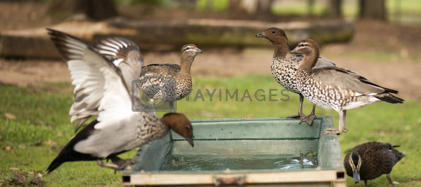 Ducks on a farm during the day drinking water.