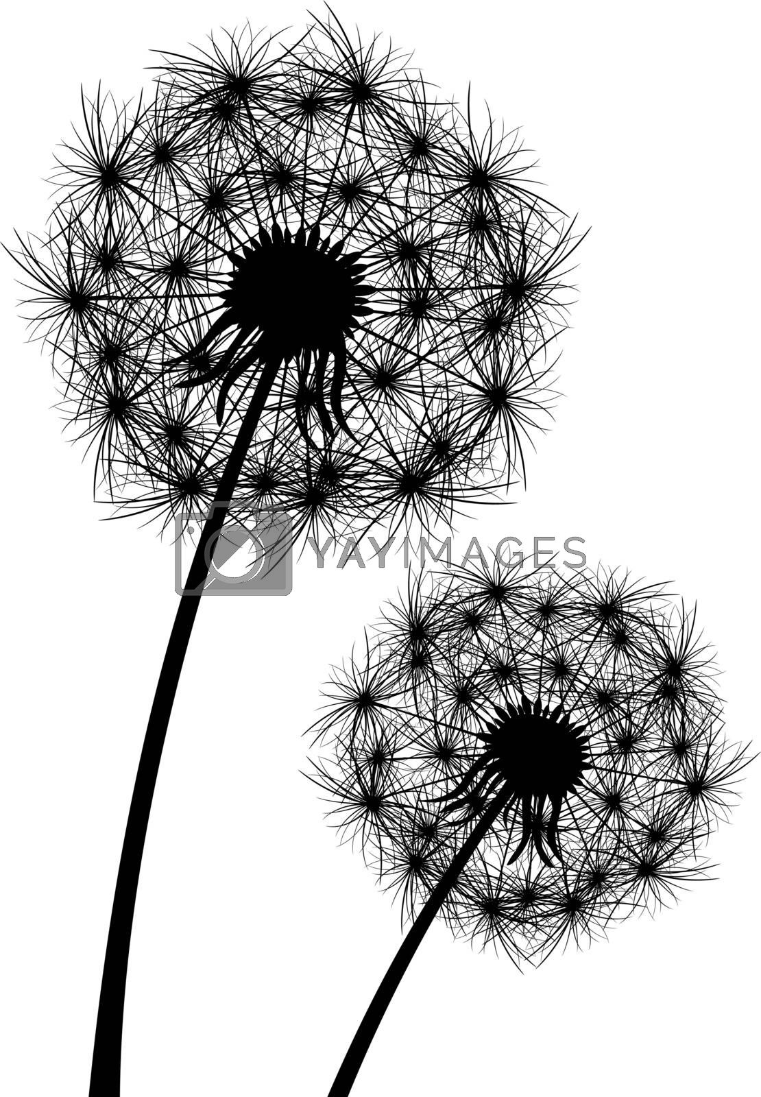 Dandelion, flowering  plant. Silhouette of dandelion on white background.