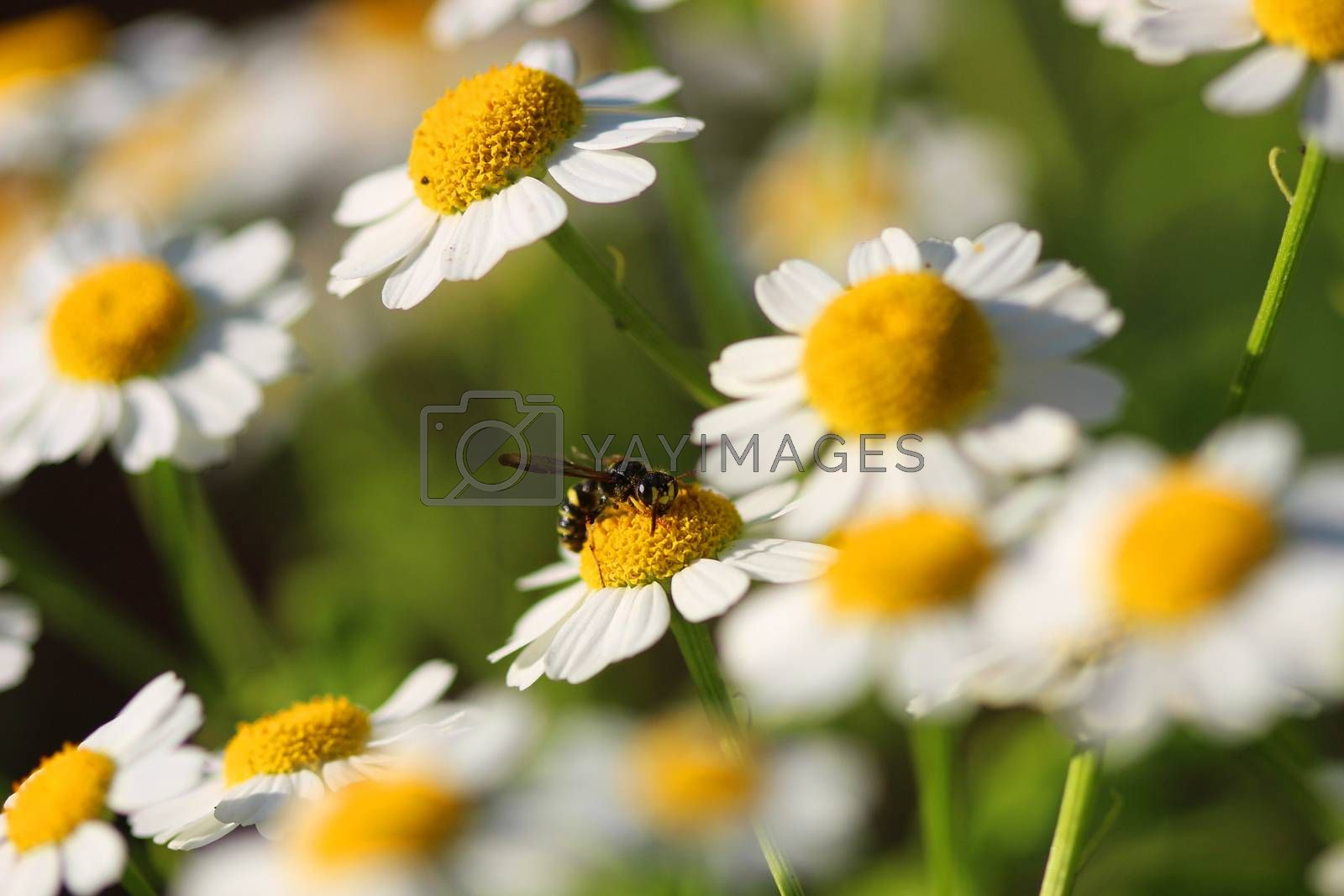 Delicate White Camomiles And the bee on a green background