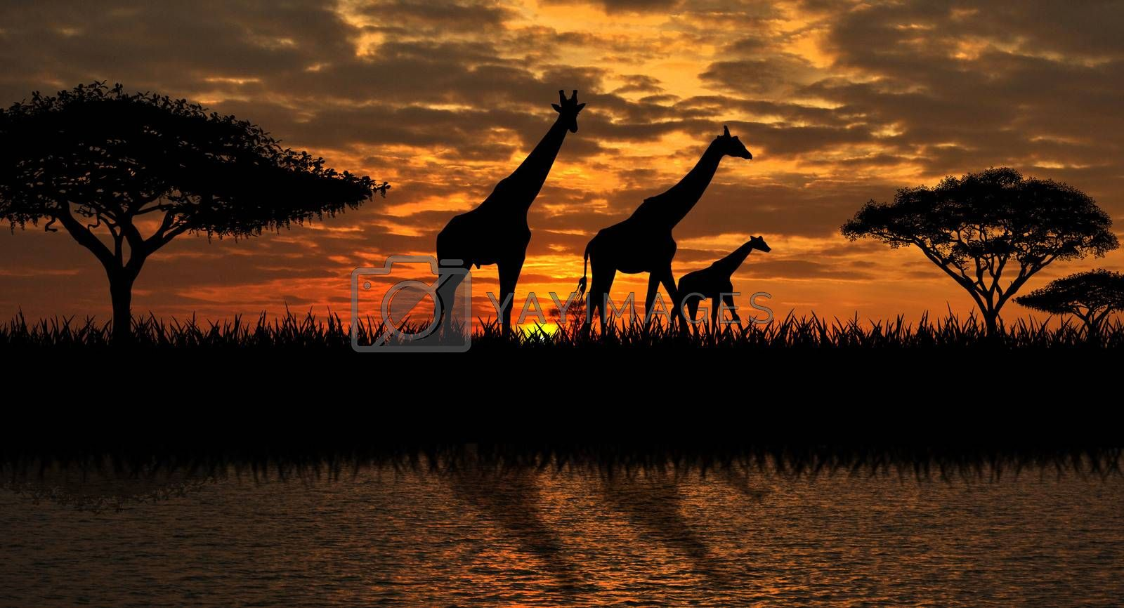 Silhouettes of giraffes  on a sunset background. Giraffes against the backdrop of the sunset and the river.