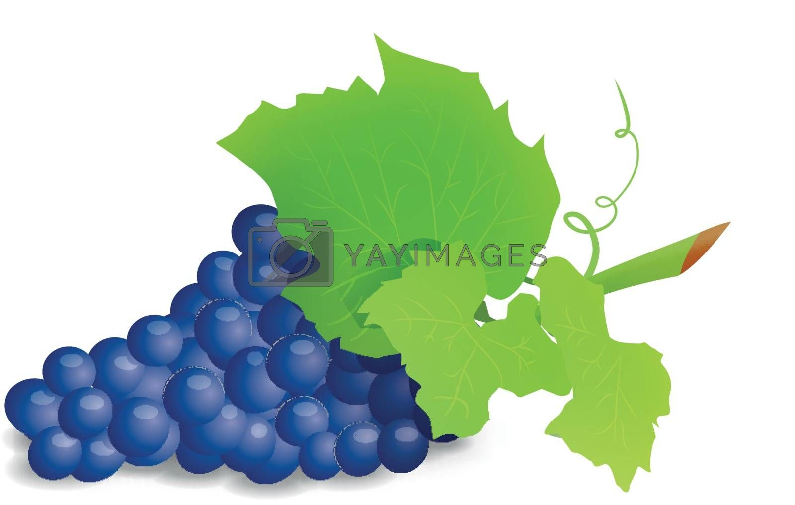 Grape branch with blue grapes on white background. Vector illustration on white