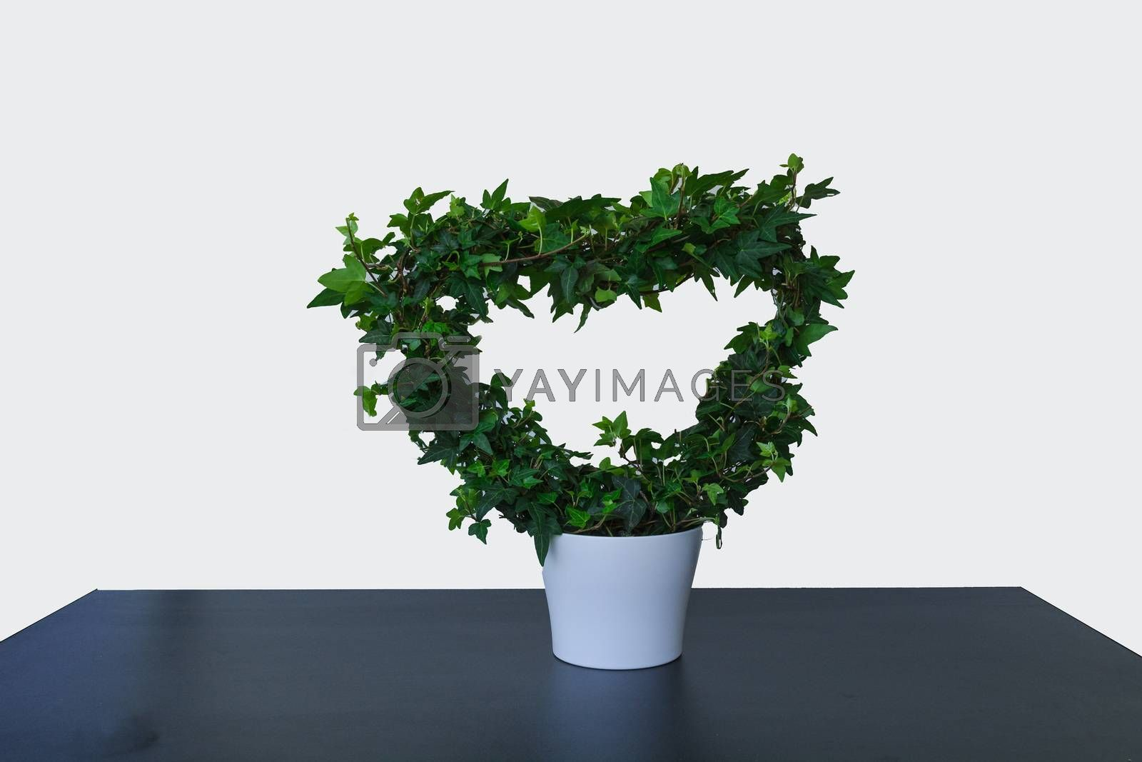 Green ivy rivers in heart-frome in front of white background in a planter