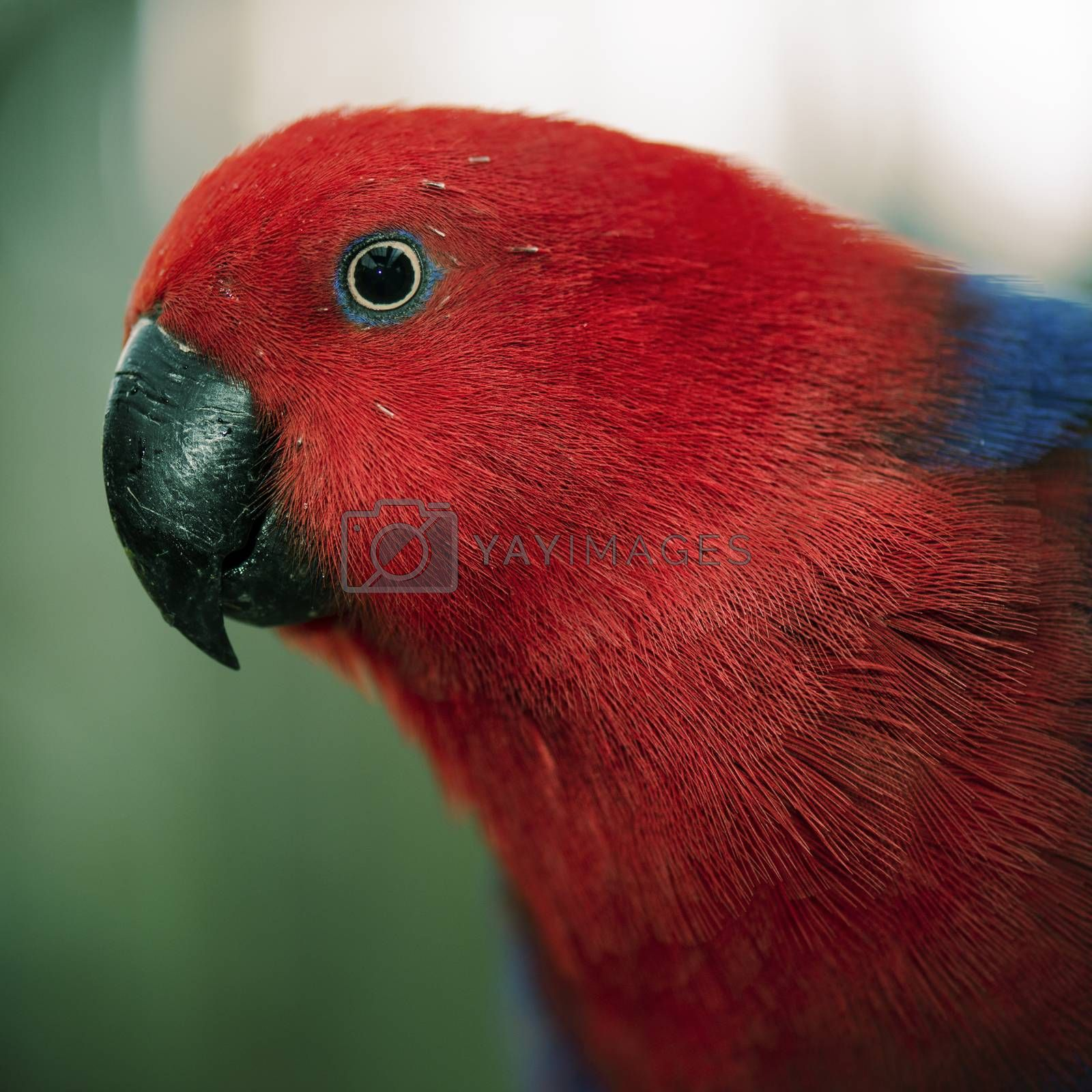 Crimson rosella during the day
