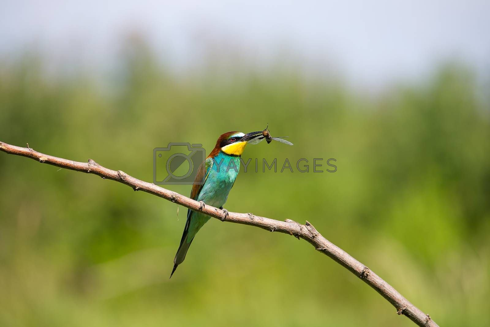 Bee-eater (Merops apiaster) playing with red dragonfly in beak on brunch - tropical colours bird, Isola della Cona, Monfalcone, Italy, Europe
