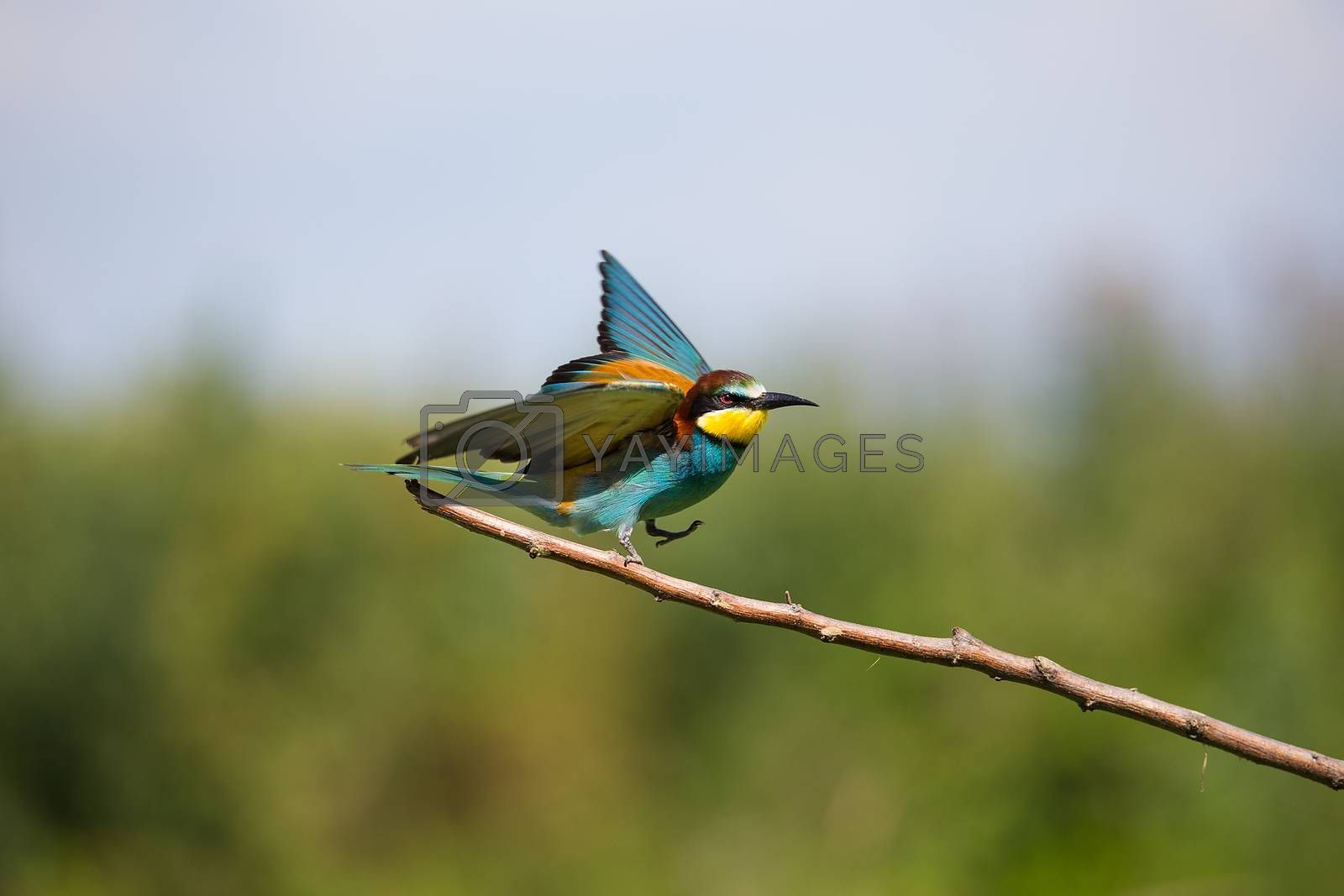 European Bee-eater (Merops apiaster) flying on brunch - tropical colours bird, Isola della Cona, Monfalcone, Italy, Europe
