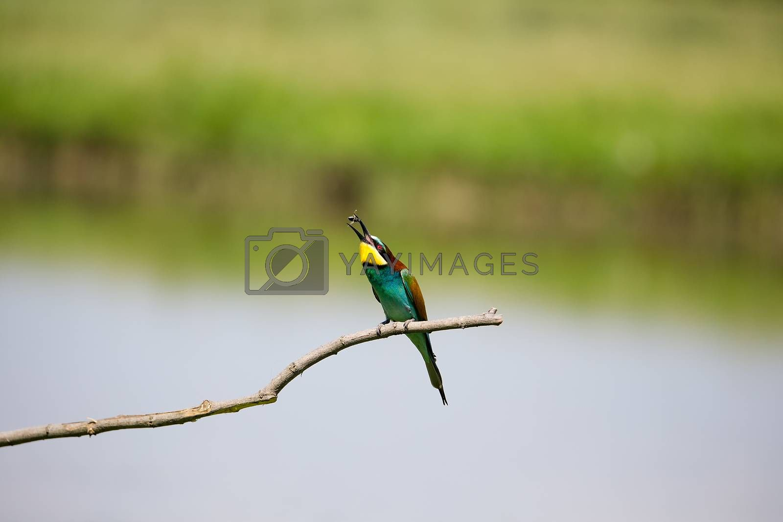 European Bee-eater playing with insect (Merops apiaster) on brunch - Bird Male with Female, Isola della Cona, Monfalcone, Italy, Europe