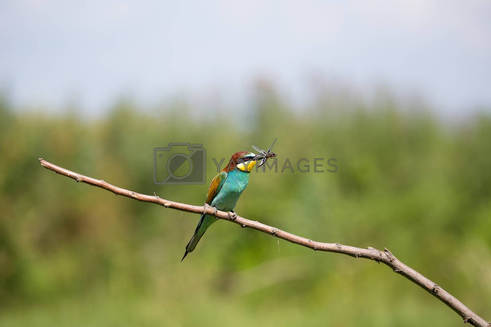 European Bee-eater (Merops apiaster) playing with insect - dragonfly on brunch - tropical colours bird, Isola della Cona, Monfalcone, Italy, Europe