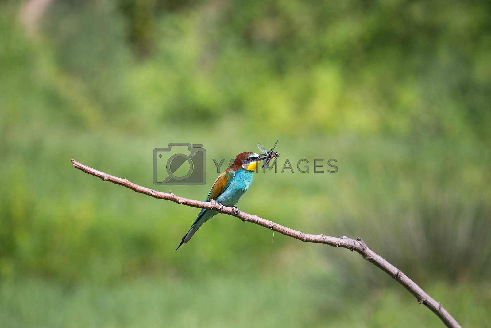 European Bee-eater (Merops apiaster) with insect - dragonfly on brunch - tropical colours bird, Isola della Cona, Monfalcone, Italy, Europe