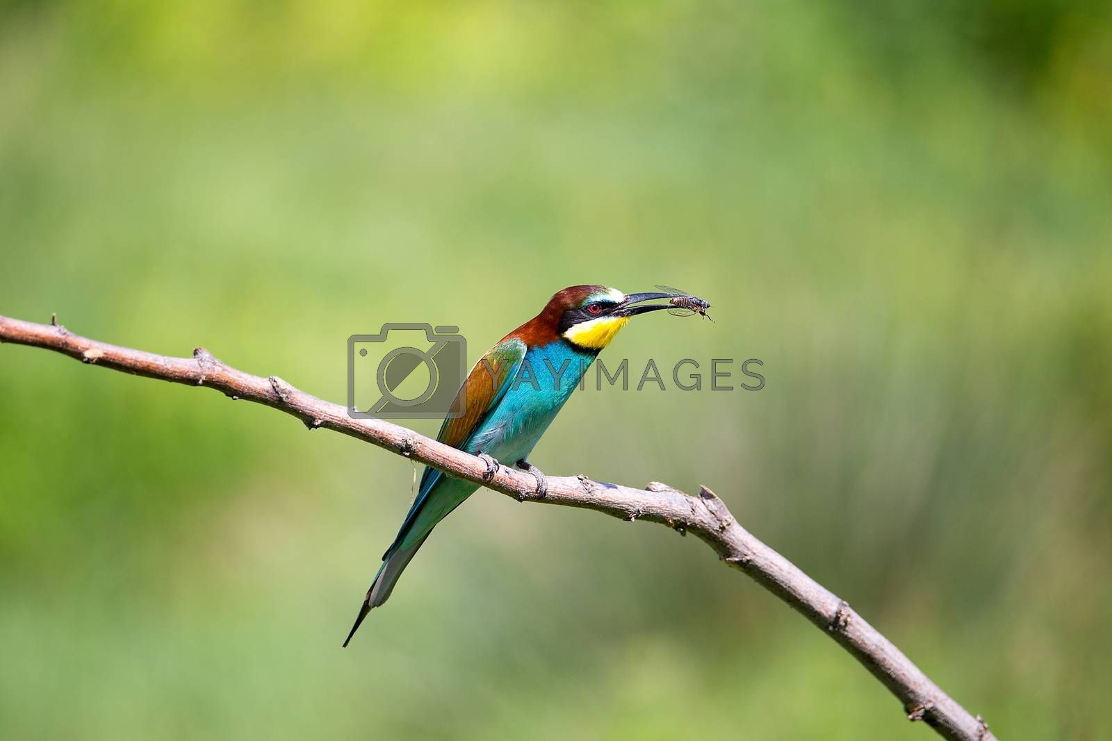 European Bee-eater playing with insect (Merops apiaster) on brunch - tropical colours bird, Isola della Cona, Monfalcone, Italy, Europe