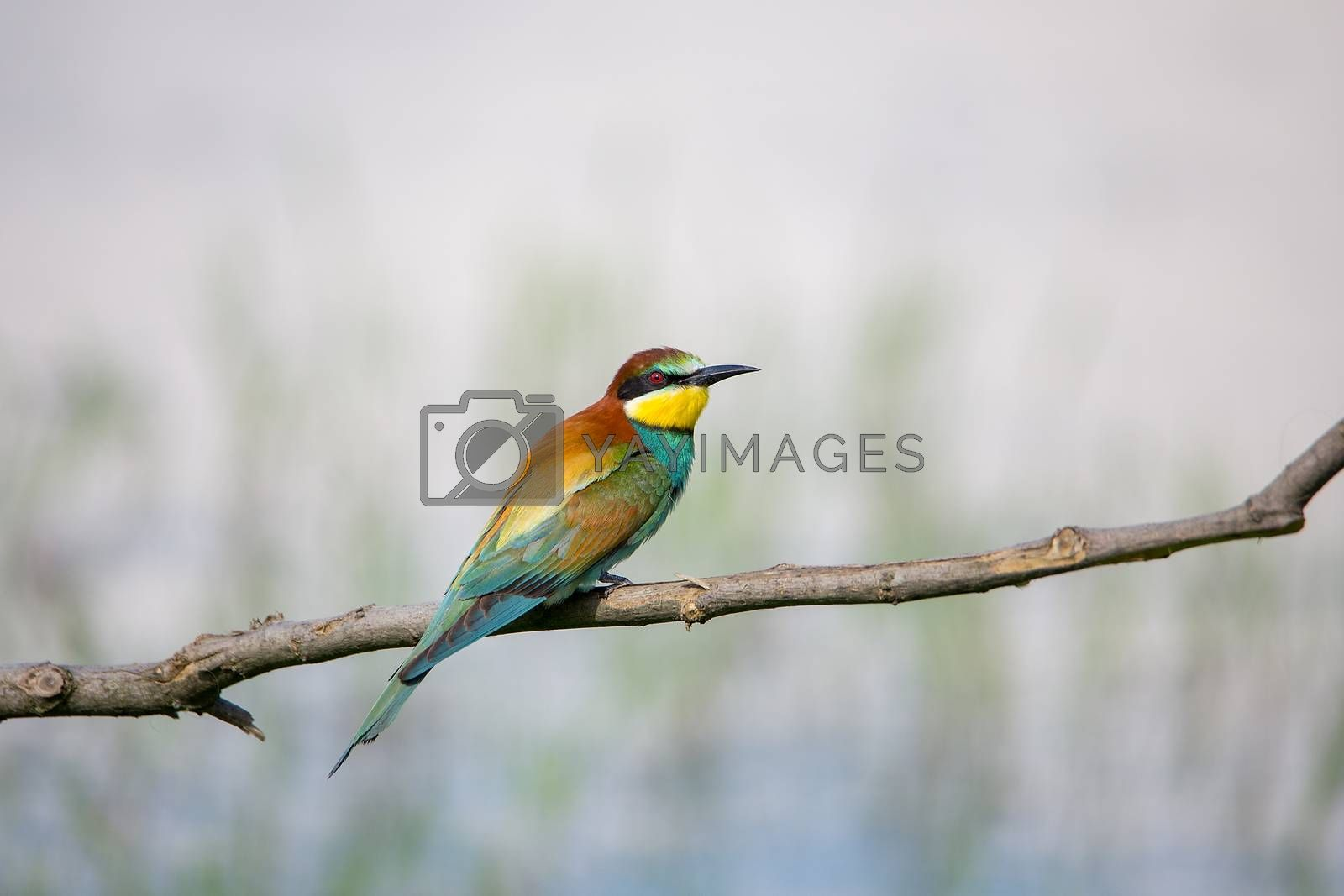 European Bee-eater (Merops apiaster) on brunch - Bird Male with Female, Isola della Cona, Monfalcone, Italy, Europe