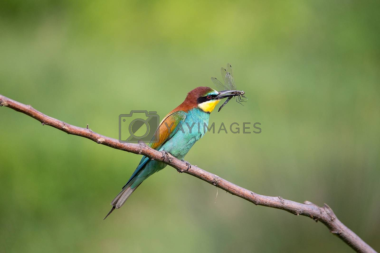 Bee-eater (Merops apiaster) with insect - dragonfly on brunch - tropical colours bird, Isola della Cona, Monfalcone, Italy, Europe