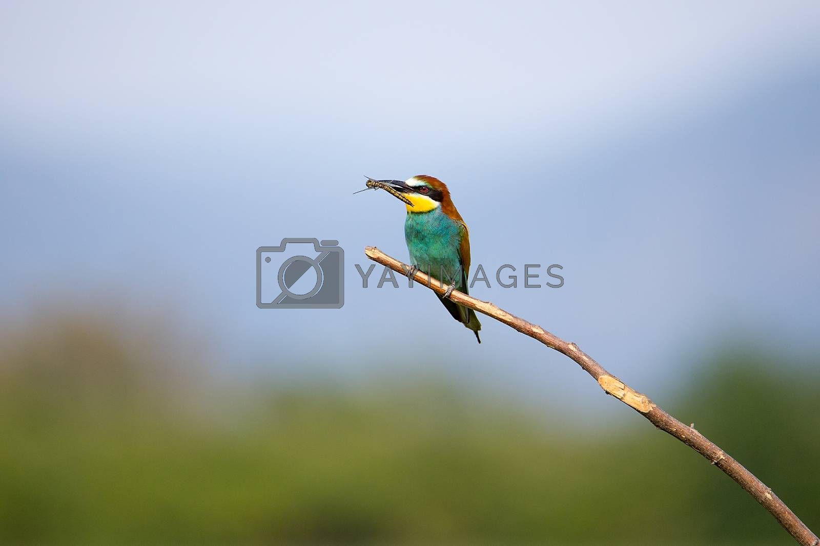 Bee-eater playing with insect (Merops apiaster) on brunch - tropical colours bird, Isola della Cona, Monfalcone, Italy, Europe