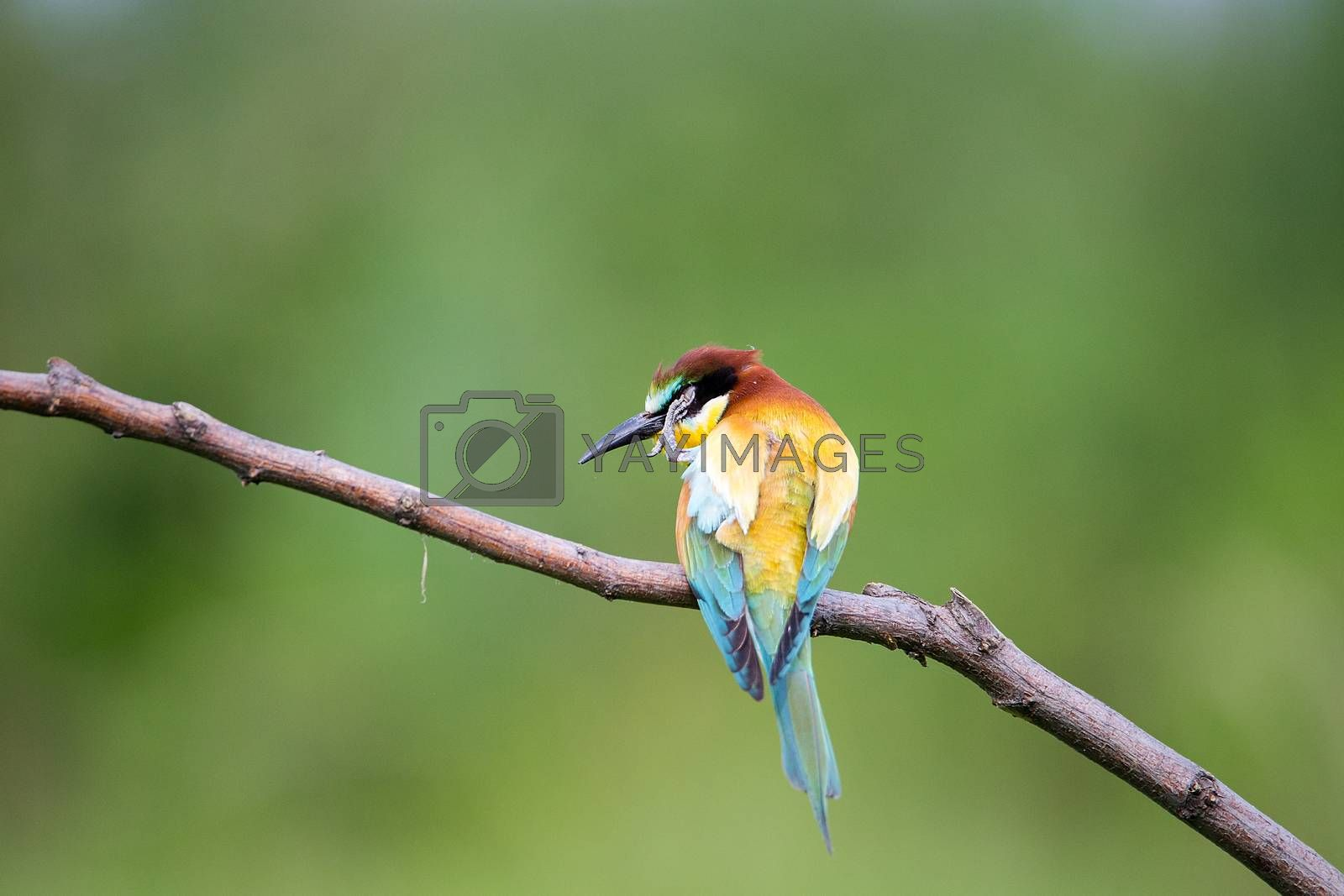 Bee-eater (Merops apiaster) scratching and washing on brunch - tropical colours bird, Isola della Cona, Monfalcone, Italy, Europe