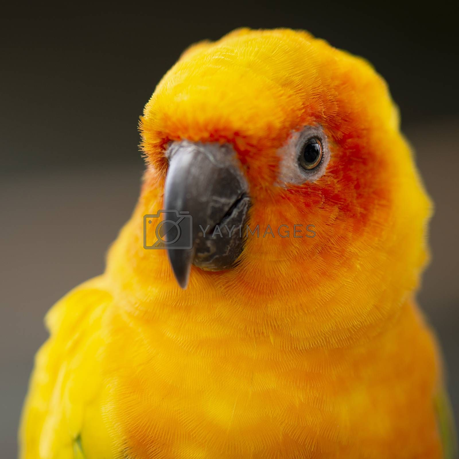 Close up of a bright coloured Sun Conure parrot.
