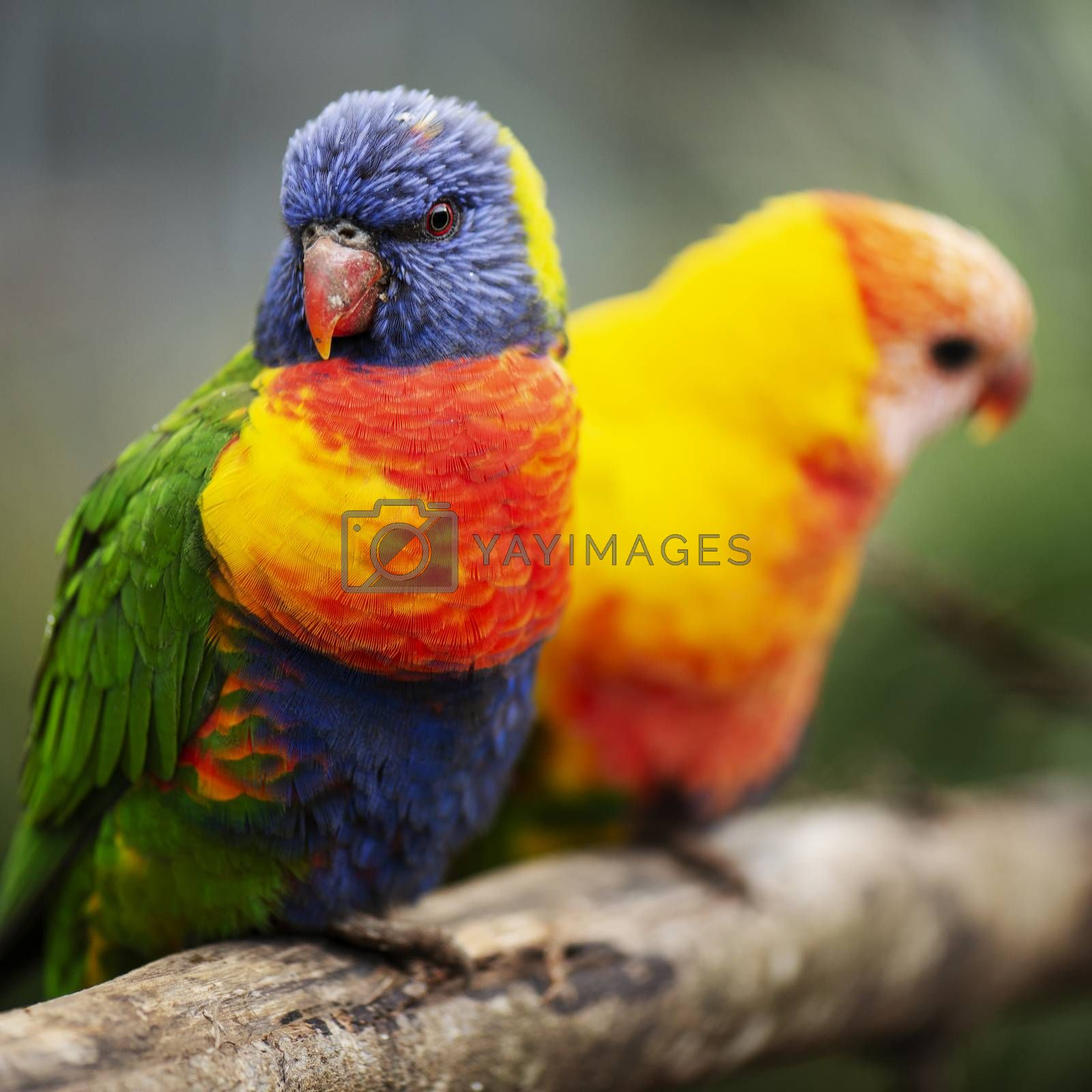 Rainbow lorikeet out in nature during the day.