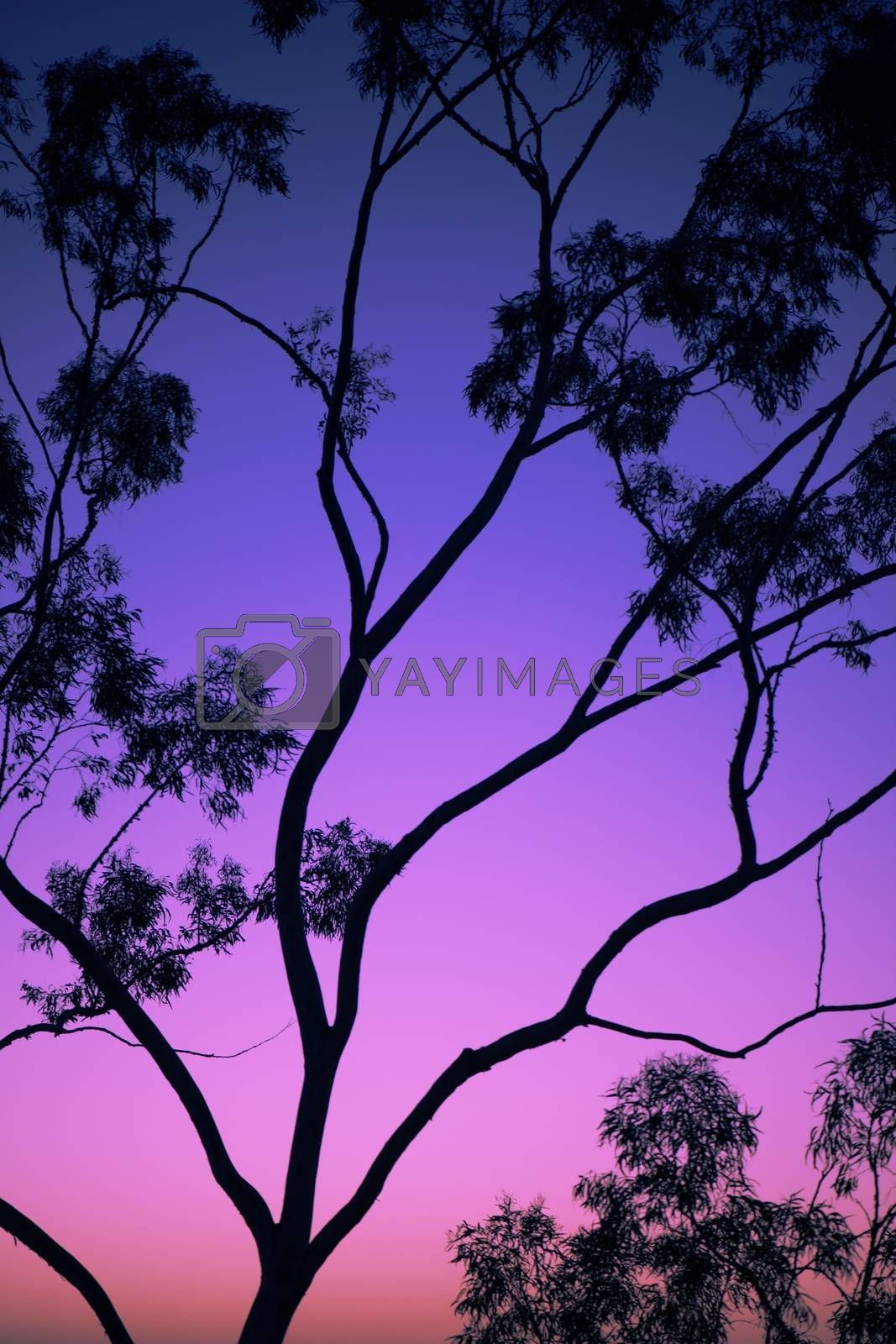 Tree silhouette at dusk in Ipswich, Queensland with vibrant colours.