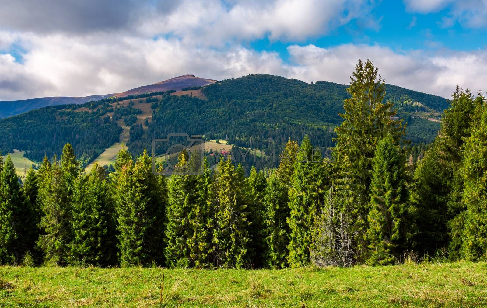 spruce trees on hillside on cloudy day. gorgeous weather in Carpathian mountains in autumn