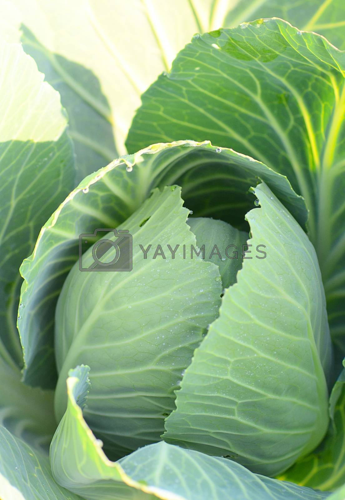 Cabbage in a the garden close up