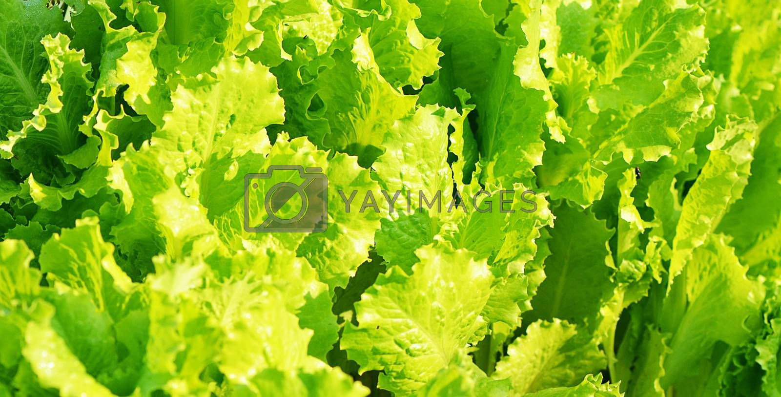 Fresh lettuce a the garden close up