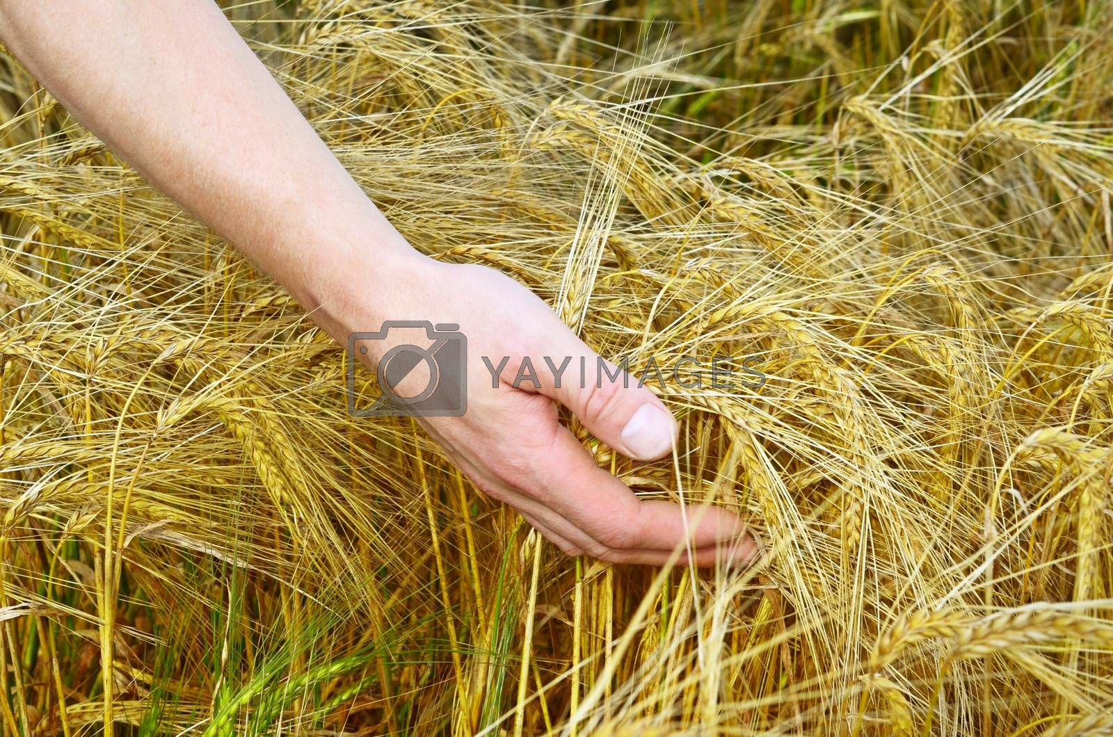 Rye ears in man's hands close up