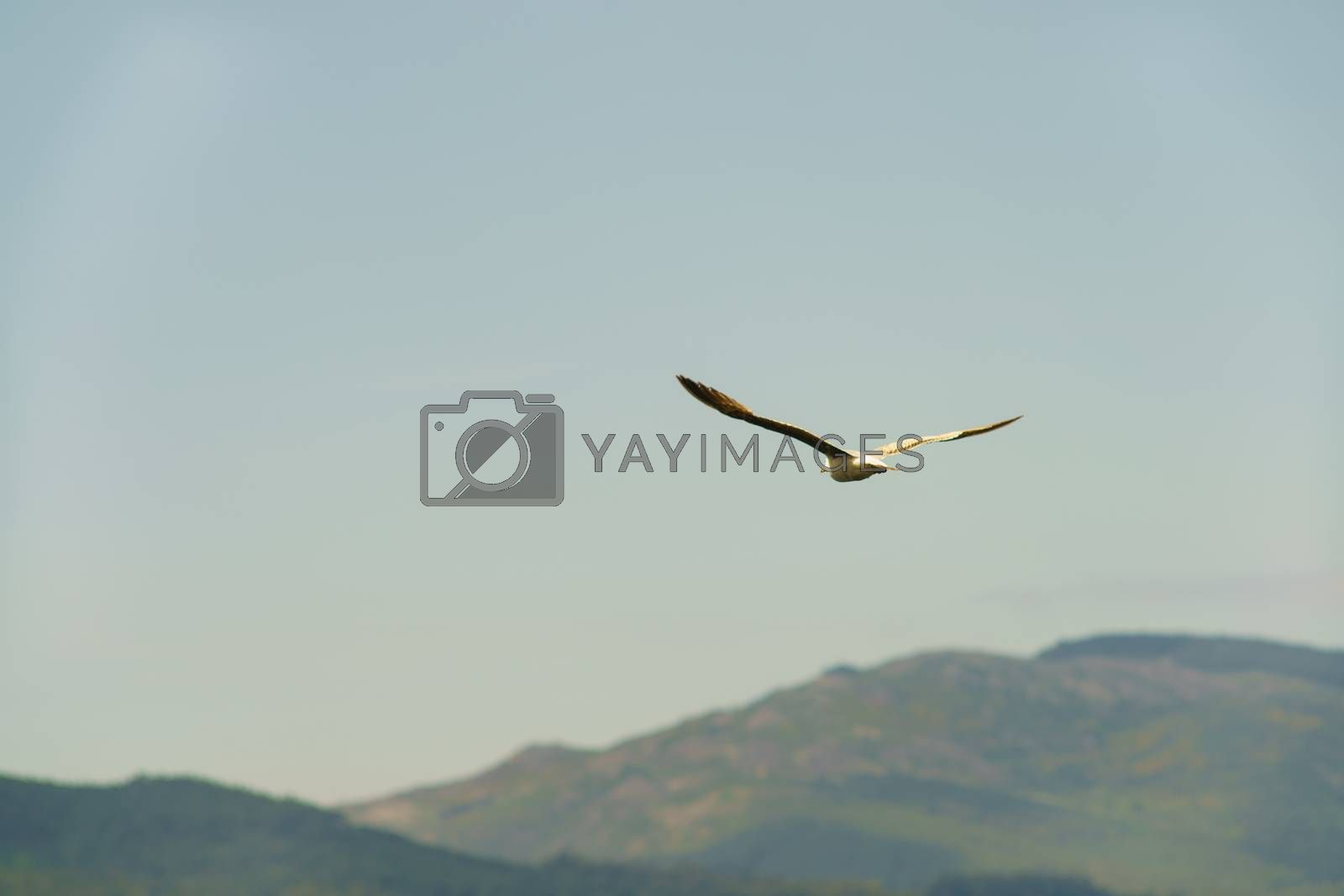 A seagull hovering over the land