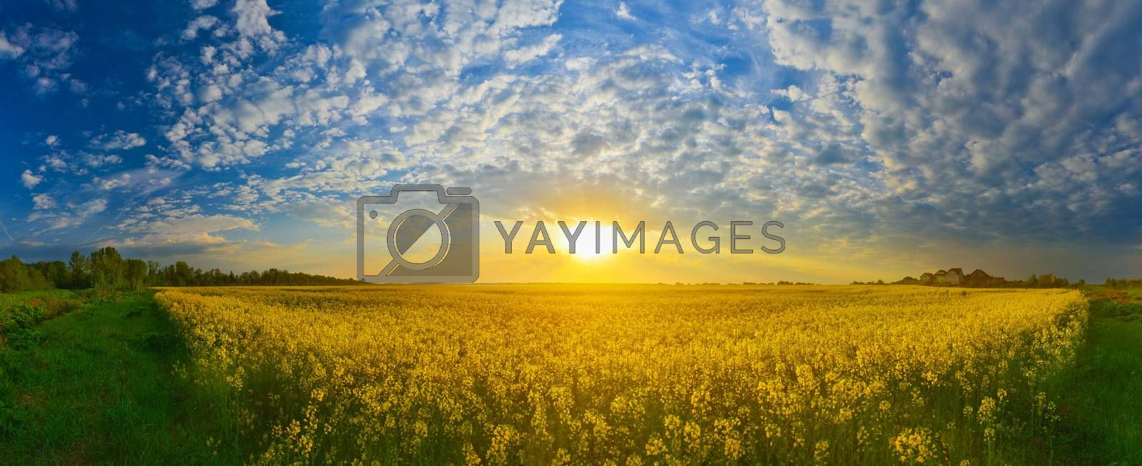 Field of rape in spring countryside