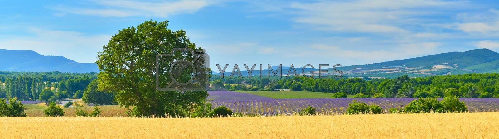 Panorama wheat field and field of lavender, France