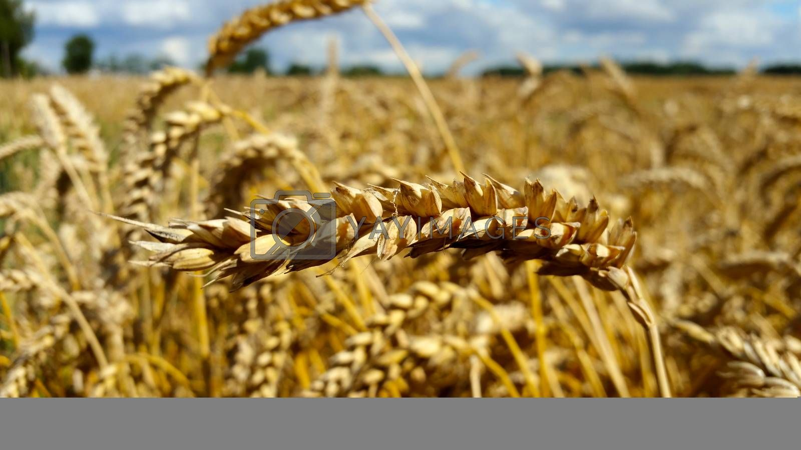 an ear of wheat, close-up against a background of wheat fields.