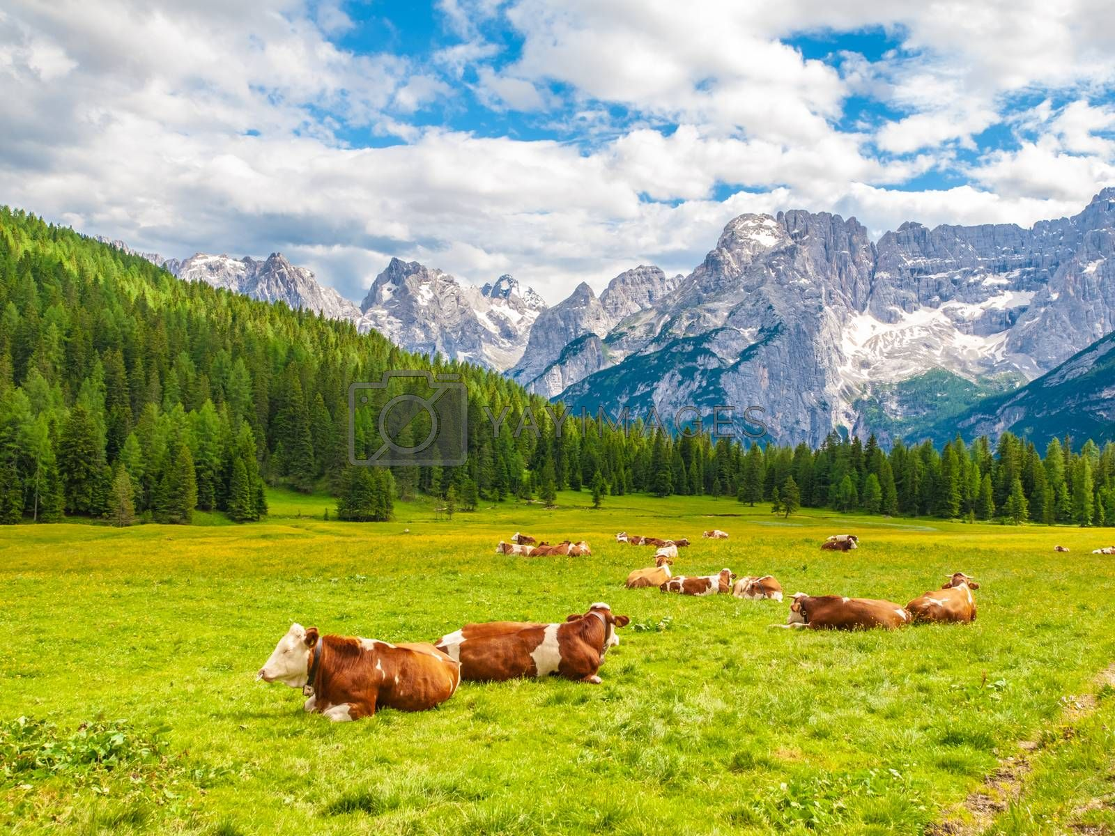 Herd of alpine cows lying on the green pasture. Landscape with peaks of Dolomites, Italy.