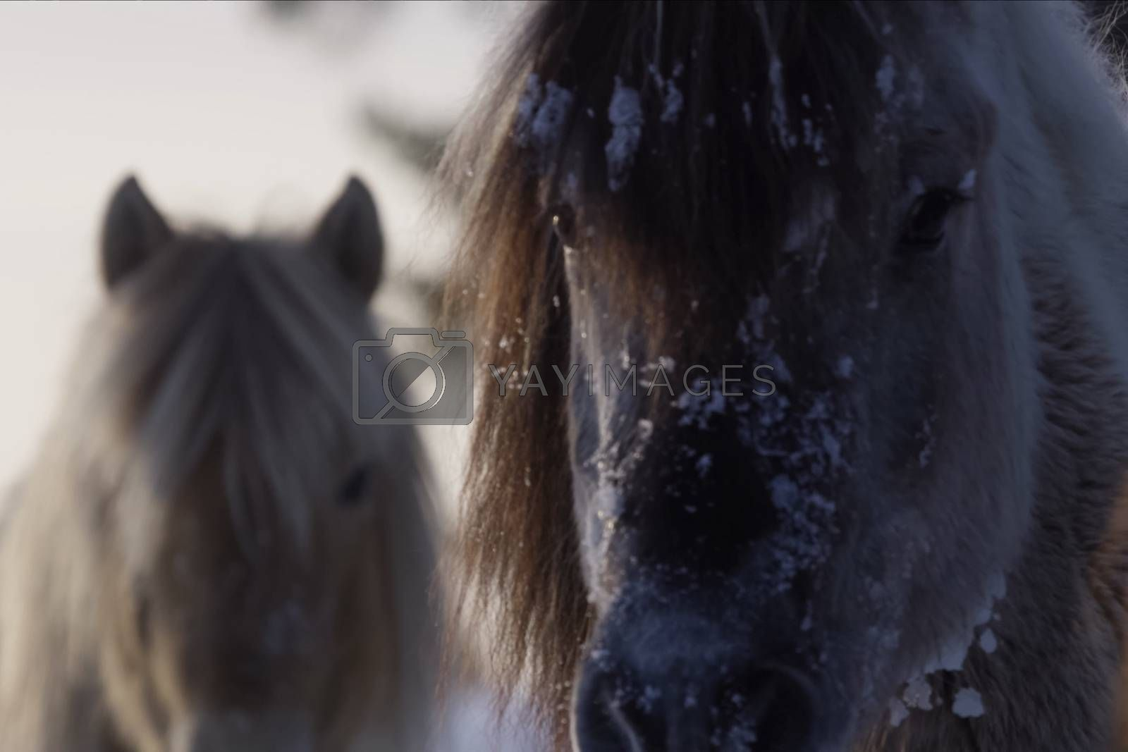 Yakut horses in the winter in the snow. The breed of Yakut horses by Nirkov