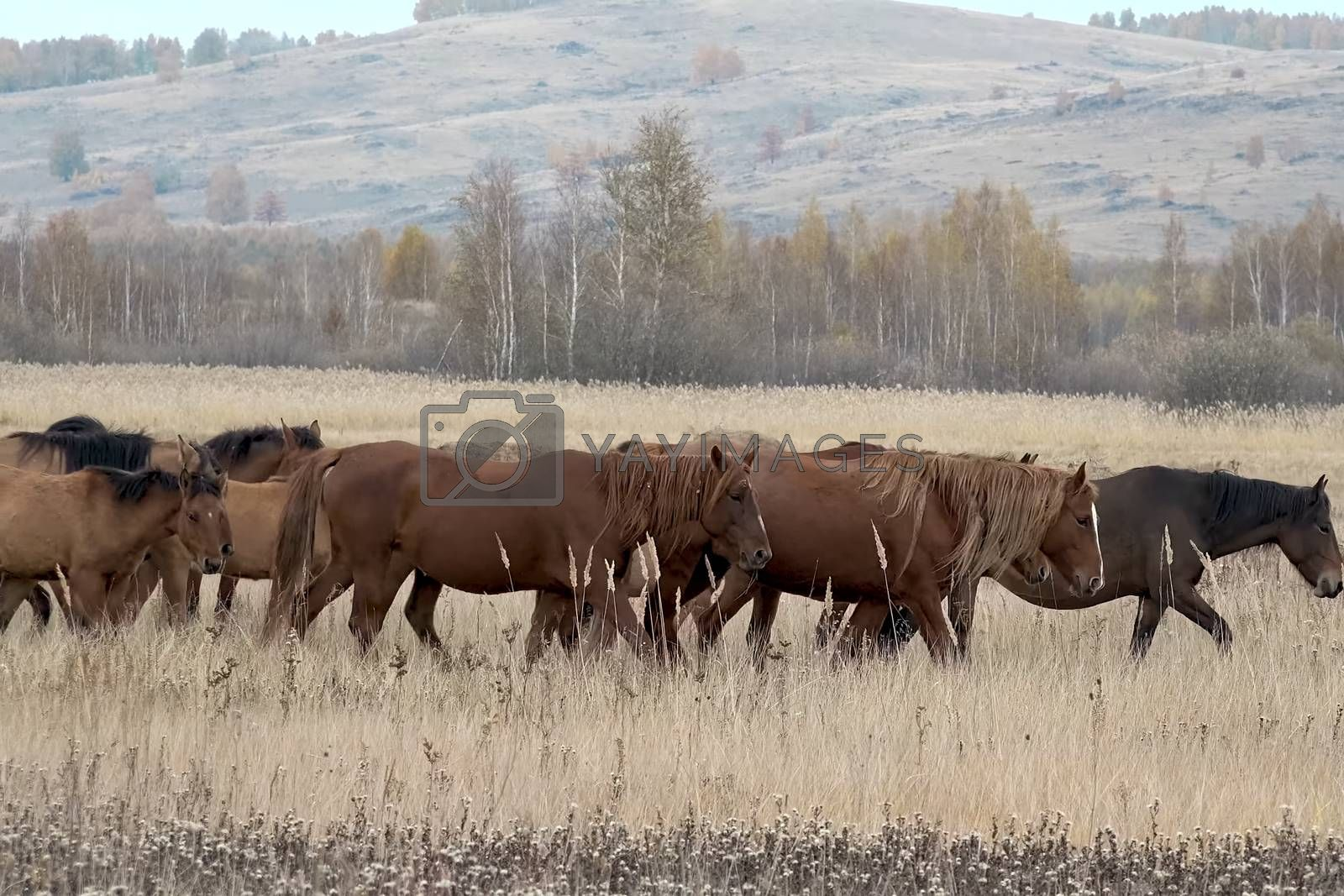 The herd of horses in autumn on pasture, grazing horses by Nirkov
