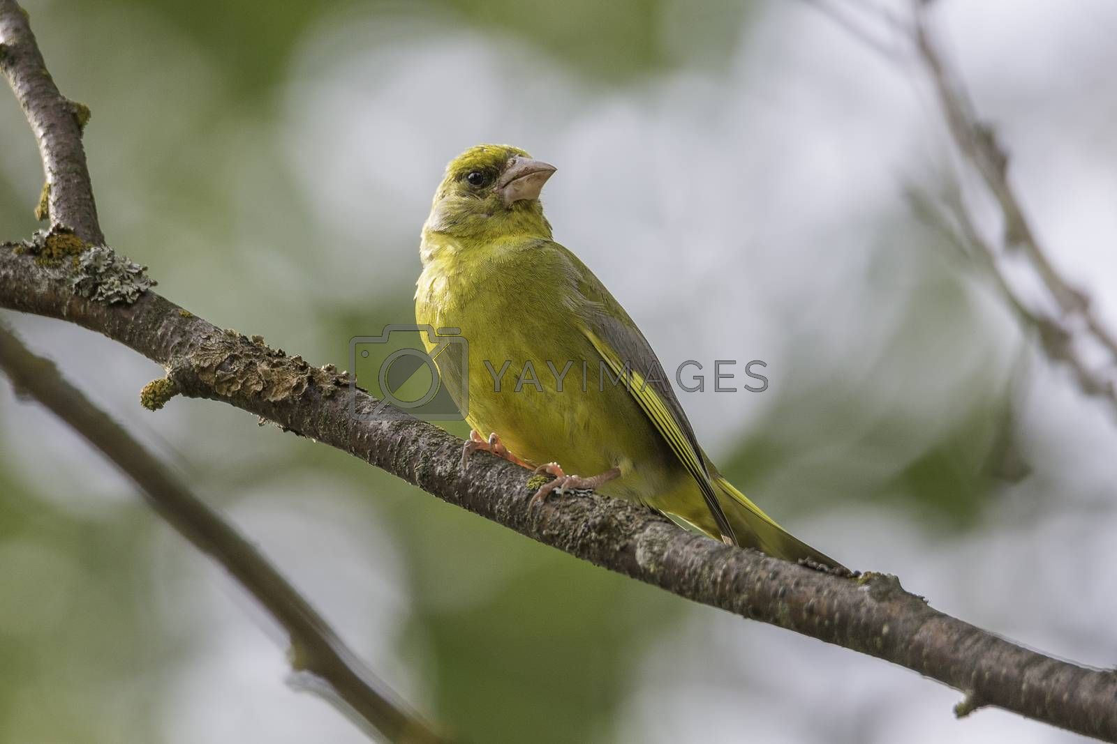 Male Greenfinch Sitting on Branch by Emmoth