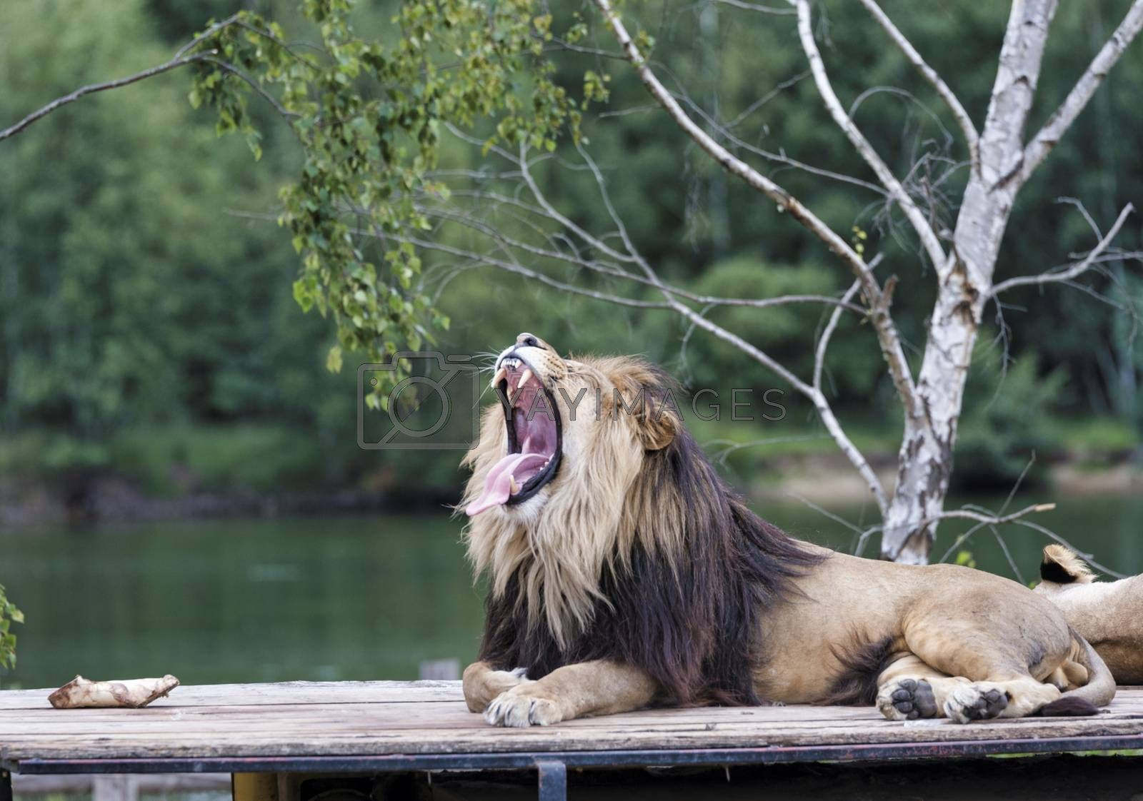 roaring lion on top of car by compuinfoto